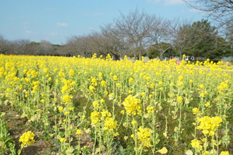 Cả một thiên đường hoa ở đảo Nokonoshima