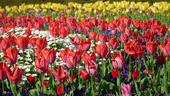Hòn đảo ở Nhật Bản trồng hoa quanh năm để hút khách du lịch