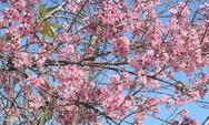 Thời gian qua trời Đà Lạtkhông có những đợt mưa trái mùa như những năm trước. Đây được cho là một trong những yếu tố thuận lợi của cây mai anh đào.