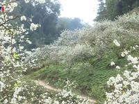 Hoa mận bung nở trắng trời ở Mộc Châu