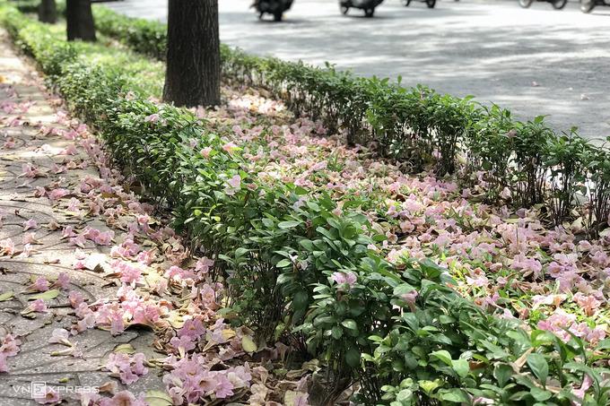 Kèn hồng vào mùa