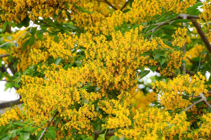 Phố Hội vàng rực hoa sưa
