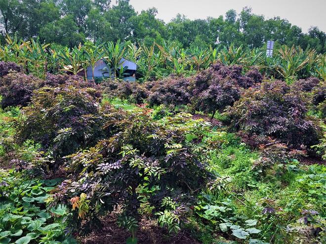 Khám phá vườn nhãn tím độc đáo gây xôn xao ở miền Tây  - ảnh 1