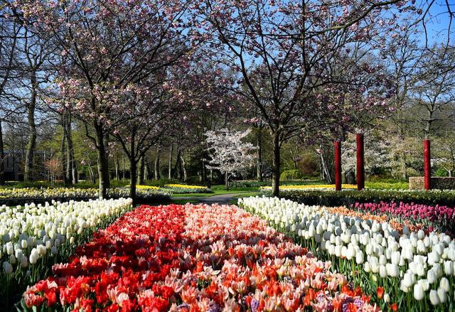 Choáng ngợp trước hàng triệu bông tulip vào mùa nở rộ ở Hà Lan - Ảnh 1.