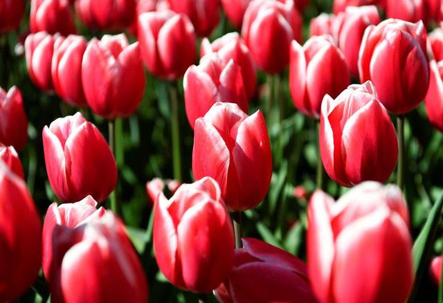 Choáng ngợp trước hàng triệu bông tulip vào mùa nở rộ ở Hà Lan - Ảnh 2.