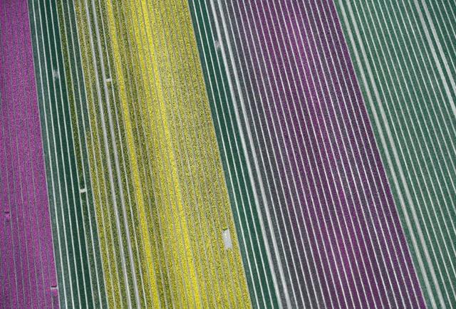 Choáng ngợp trước hàng triệu bông tulip vào mùa nở rộ ở Hà Lan - Ảnh 3.