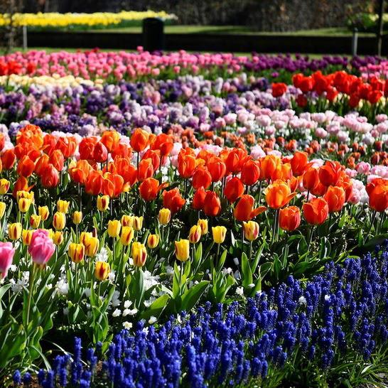 Choáng ngợp trước hàng triệu bông tulip vào mùa nở rộ ở Hà Lan - Ảnh 4.
